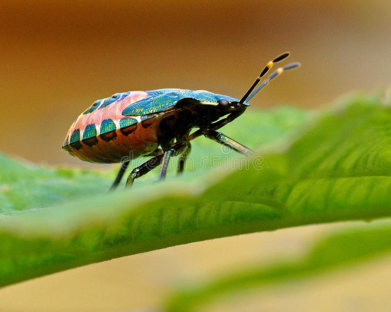 Shield Bug Troilus luridus stock image