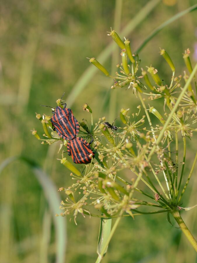 Free Shield Bugs Mating Royalty Free Stock Image - 181678046