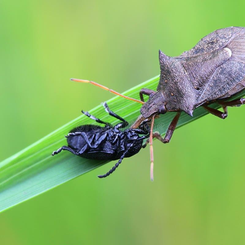 Shieldbug appuntito, bidens di Picromerus fotografie stock libere da diritti