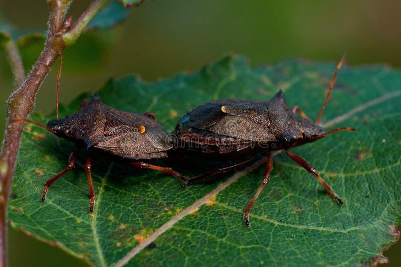 Shieldbug bidens Picromerus спиковое стоковые фотографии rf