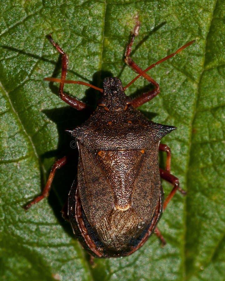 Shieldbug claveteado del bidens de Picromerus imagen de archivo libre de regalías
