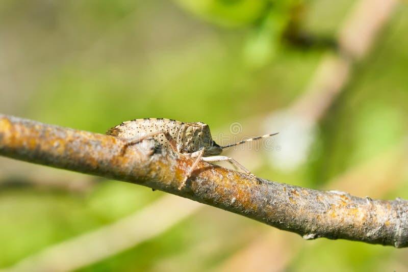 Shieldbug Mottled Rhaphigaster Nbulosa fotos de stock