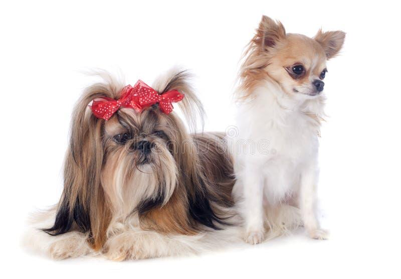 Shih慈济和奇瓦瓦狗 免版税库存图片