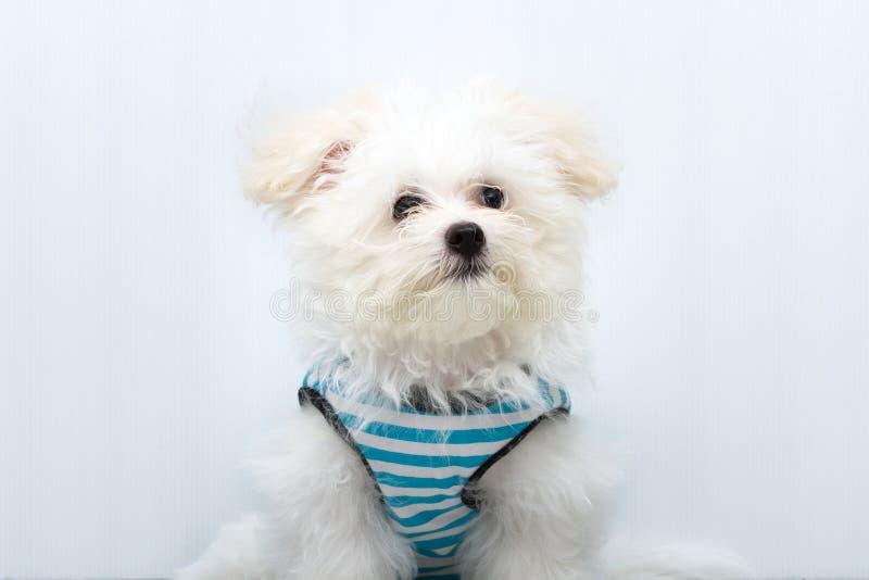 Shih慈济小狗品种微小的狗 库存图片