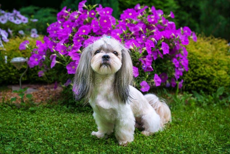 Shih慈济狗在庭院里 免版税图库摄影