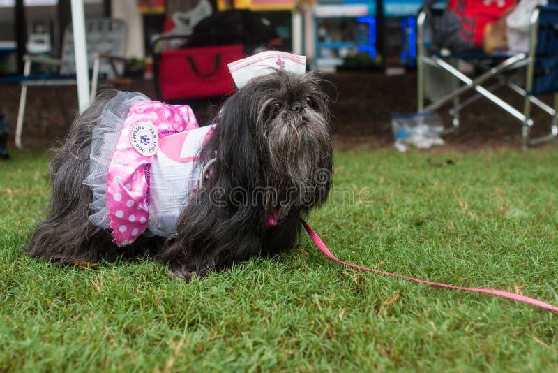 Shih慈济穿护士志愿当护士助手的小姑娘服装在小狗骗局 库存图片