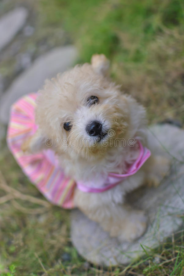 Shih Poo Puppy. A female cross breed dog between a Shih Tzu and a Poodle. Shih-poo belongs to the toy dog category stock photo