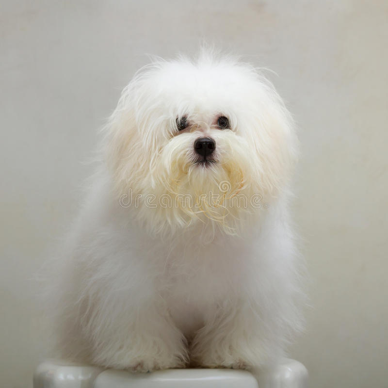 Shih tzu小狗品种微小的狗 免版税库存图片