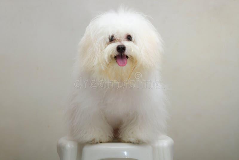 Shih tzu小狗品种微小的狗 库存图片