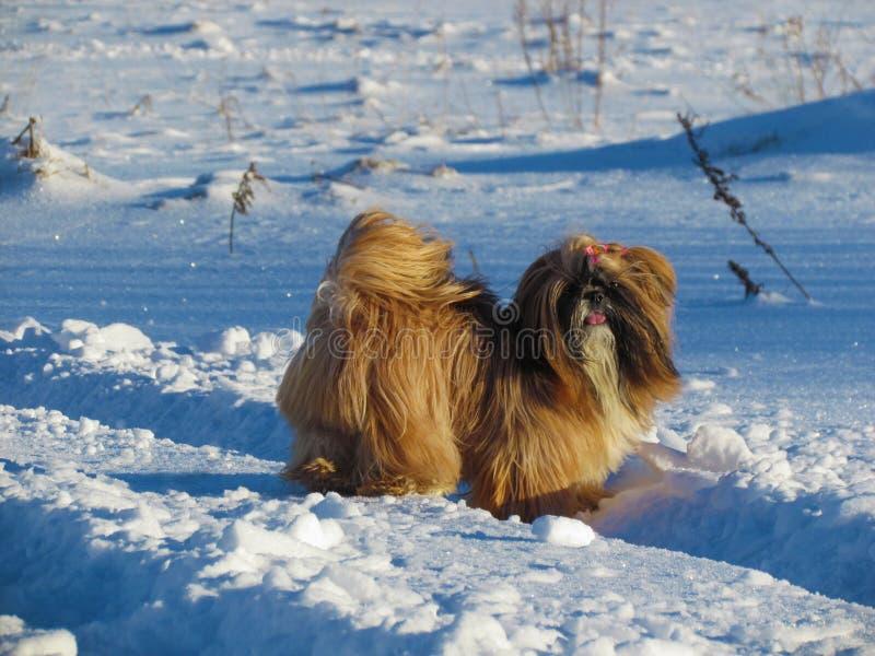 Shih Tzu σε ένα χιόνι στοκ φωτογραφία με δικαίωμα ελεύθερης χρήσης