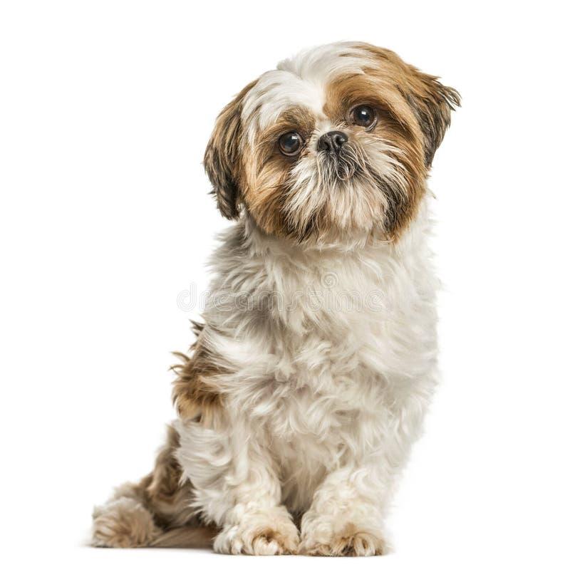 Shih Tzu, собака сидя и смотря изолированная камера, на whi стоковое изображение