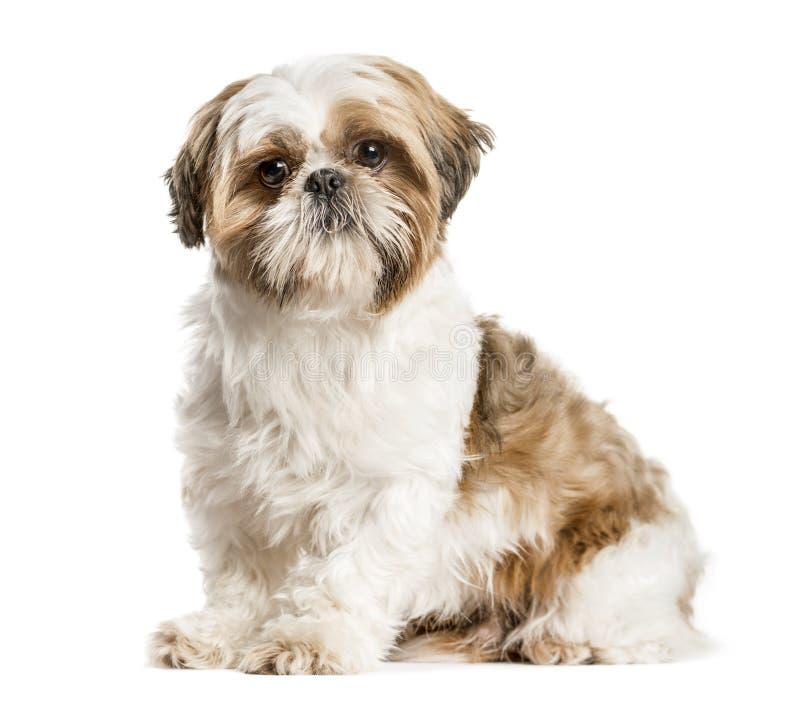 Shih Tzu, собака сидя и смотря изолированная камера, на whi стоковая фотография rf