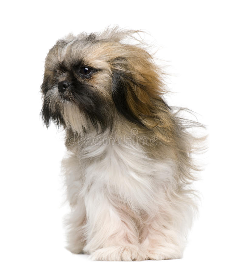 Shih Tzu, 1 year old, with windblown hair royalty free stock photography