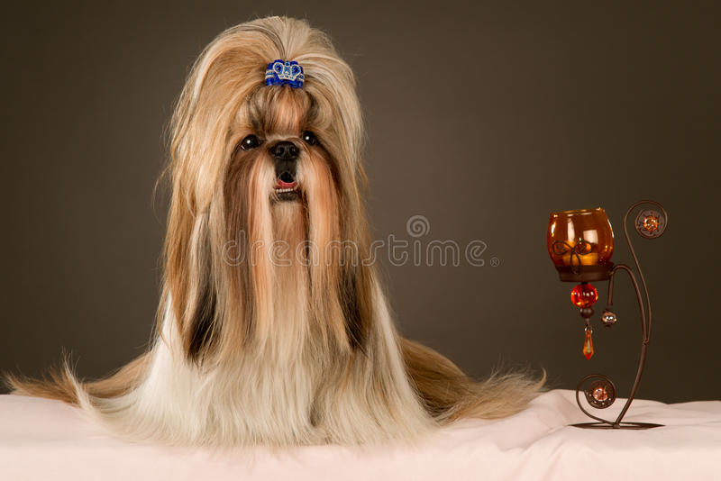 Shih-tzu. Purebred Shih-tzu with candlestick royalty free stock images