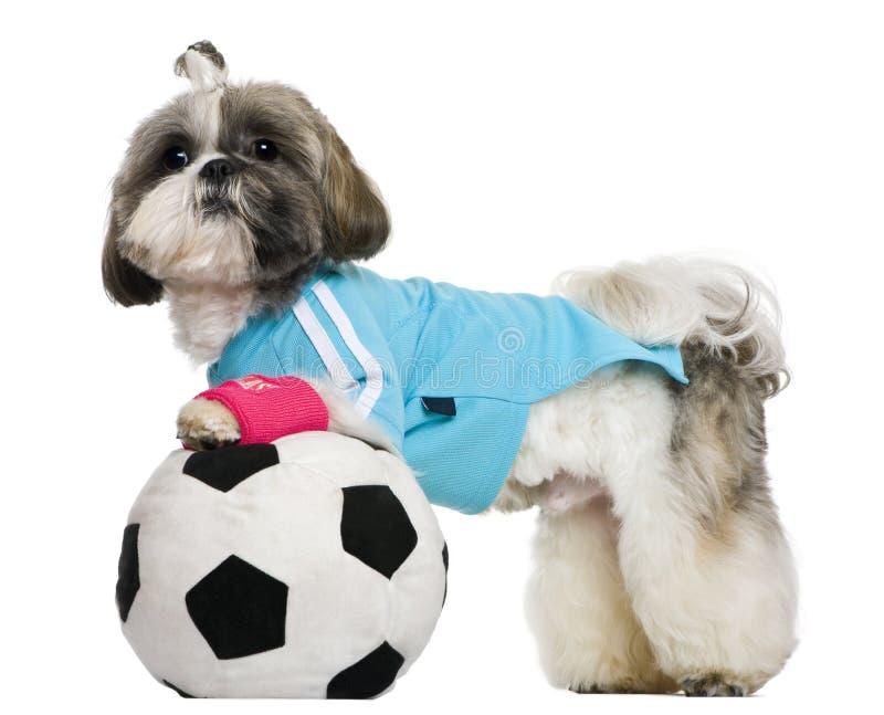 Shih Tzu, 18 maanden, gekleed met voetbalbal stock foto's