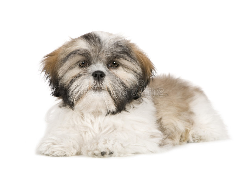 Shih Tzu (4 months) royalty free stock images