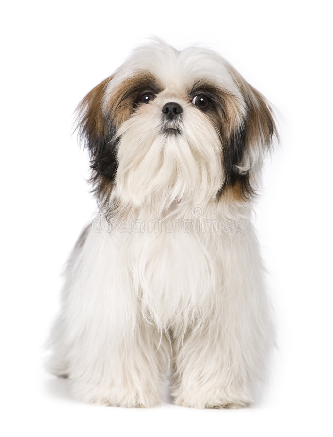 Free Shih Tzu Royalty Free Stock Photos - 4989258