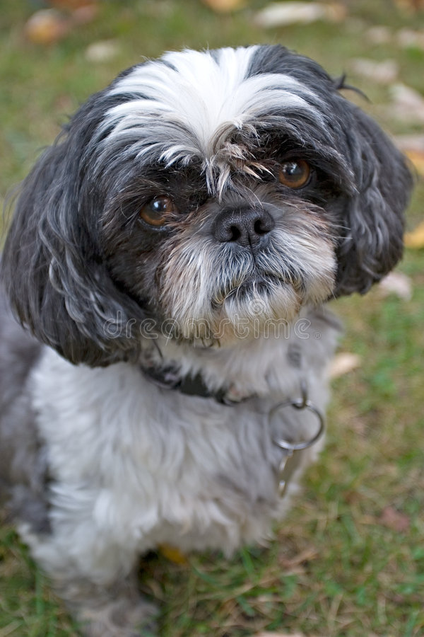 Shih Tzu stockfotos