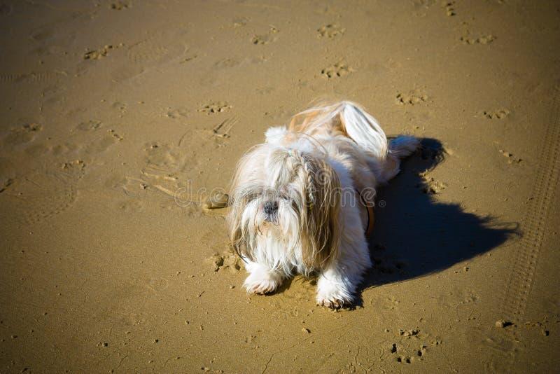 Shih-Tzu adorabile rilassato sulla spiaggia fotografia stock libera da diritti