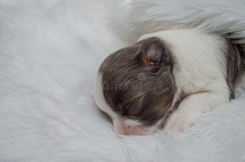 Shih Tzu-de puppy liggen op witte veren royalty-vrije stock foto