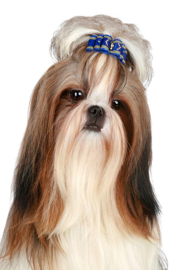 Free Shih Tzu Dog Royalty Free Stock Photo - 17375675