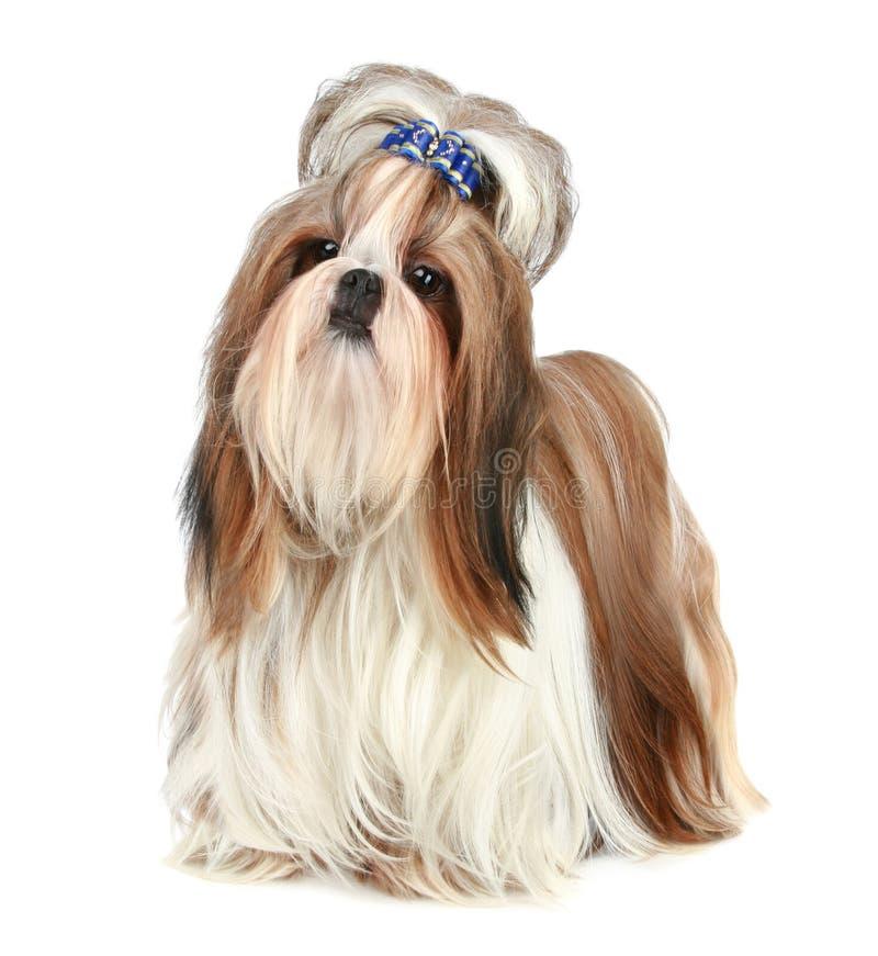 Free Shih Tzu Dog Royalty Free Stock Photography - 17605797
