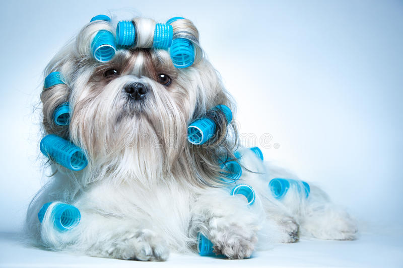 Shih tzu dog. With curlers