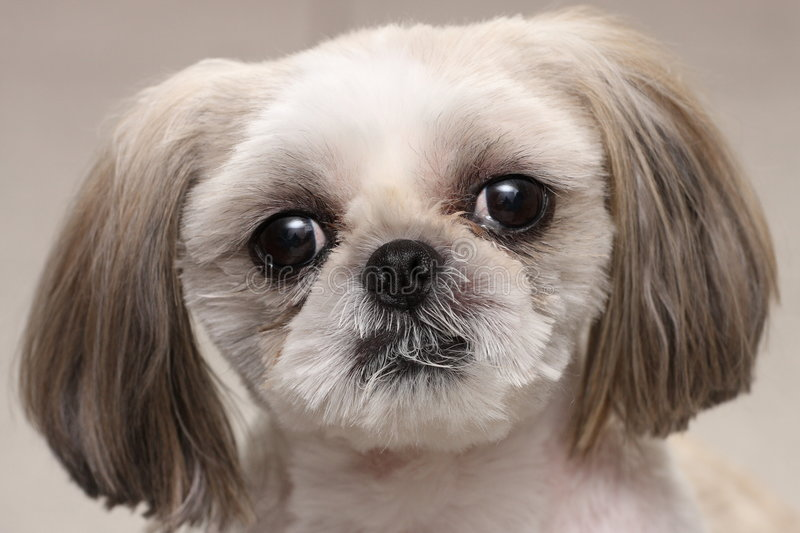 Shih Tzu dog stock image