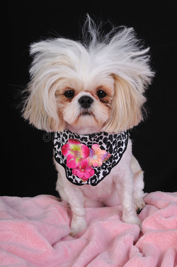 Download Shih Tzu Dog Bad Hair Day stock image. Image of expression - 8440257