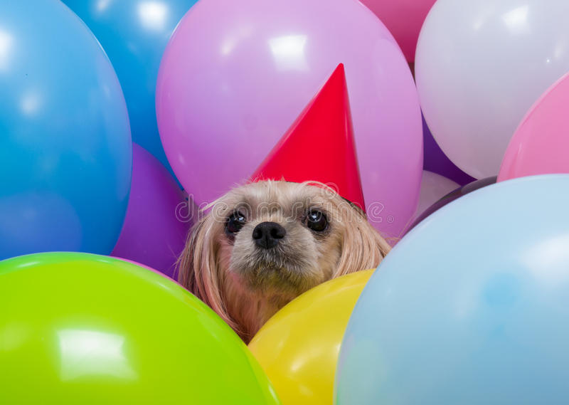 Shih Tzu dog in balloons. A Shih tzu dog wearing a red party hat amongst balloons royalty free stock image