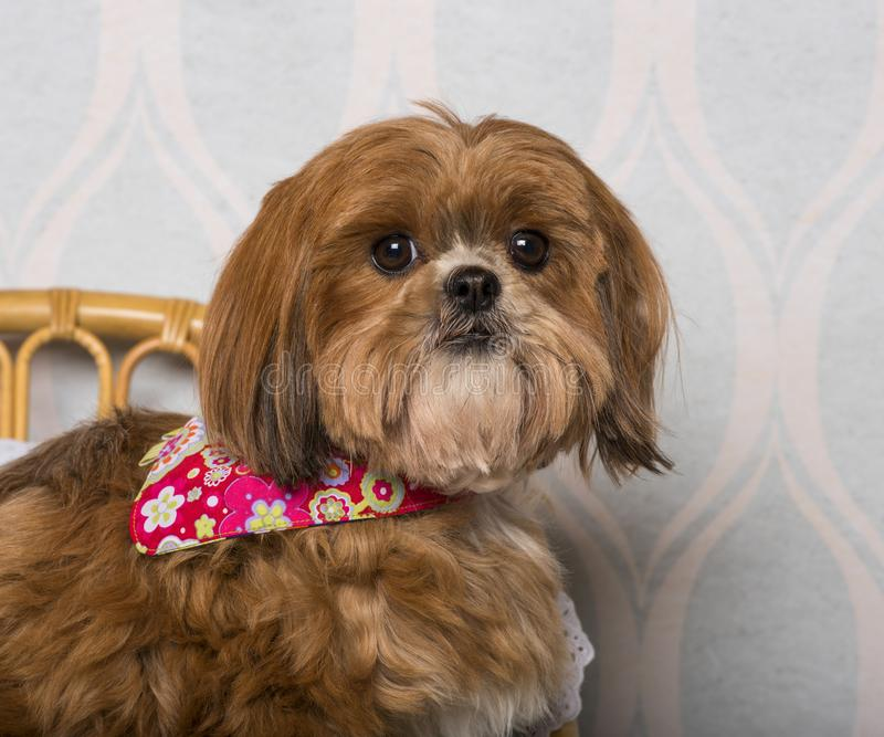 Shih Tzu dog in floral clothing sitting in domestic room. Portrait royalty free stock photography