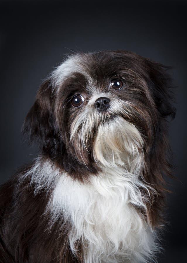 Shih Tzu Dog Stock Photo Image 31595060