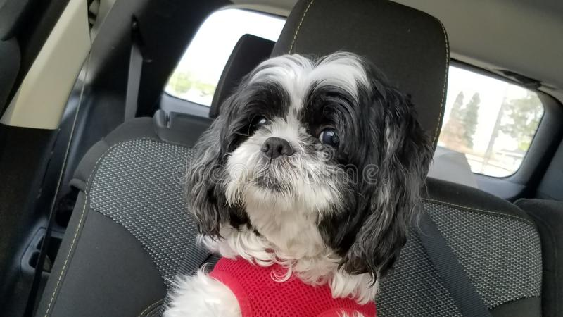 Shih tzu dog inside car. Shih tzu dog riding inside car stock images