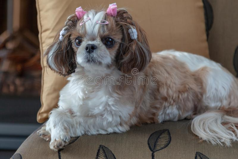 Shih Tzu dog lying on a chair looking directly at the camera cute dog royalty free stock photos