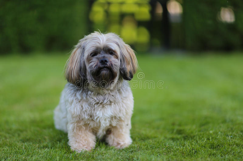 Lhasa apso dog royalty free stock images