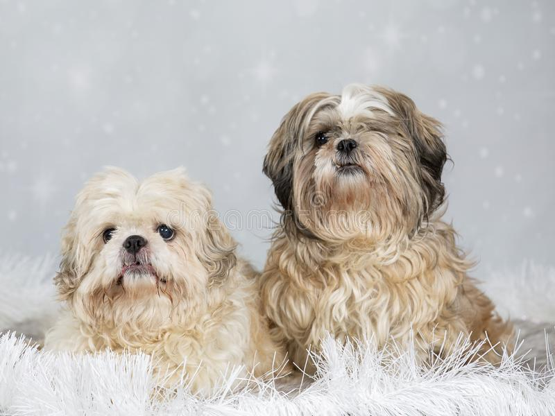 Shih tzu dog portrait, image taken in a studio. Shih tzu dog portrait with snowy christmas background royalty free stock photo
