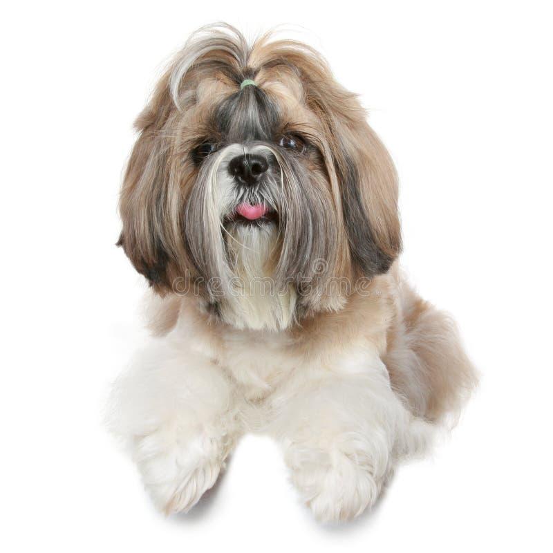 Shih tzu dog portrait on white royalty free stock photos