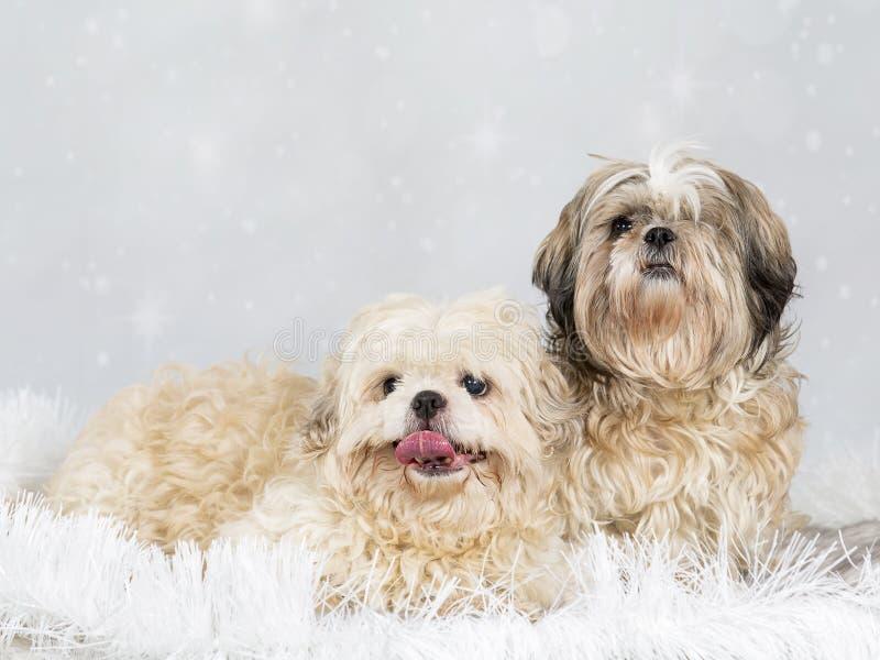 Shih tzu dog portrait, image taken in a studio. Shih tzu dog portrait with a white background royalty free stock photo