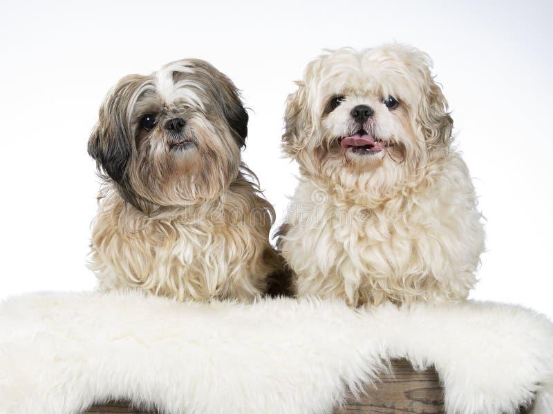 Shih tzu dog portrait, image taken in a studio. Shih tzu dog portrait with a white background royalty free stock photography