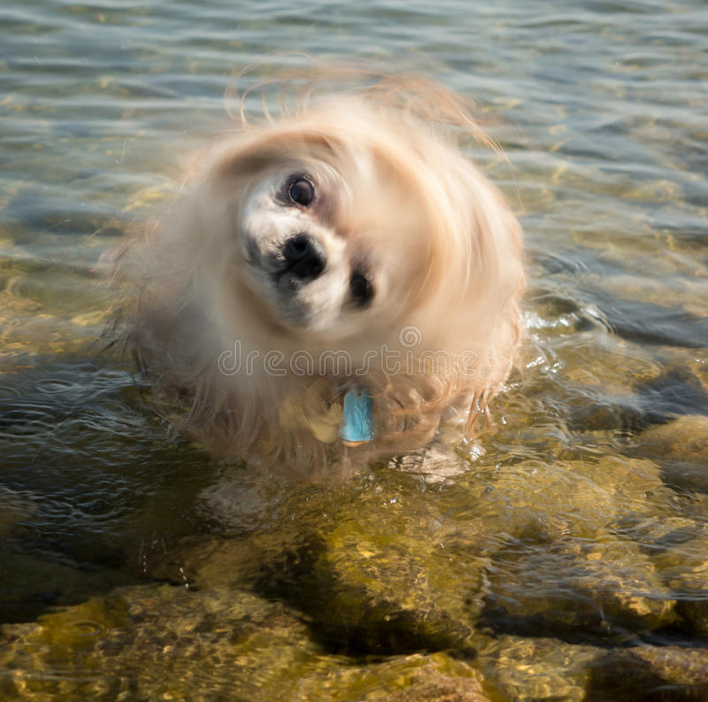 Shih Tzu Dog Shaking Head stockbild