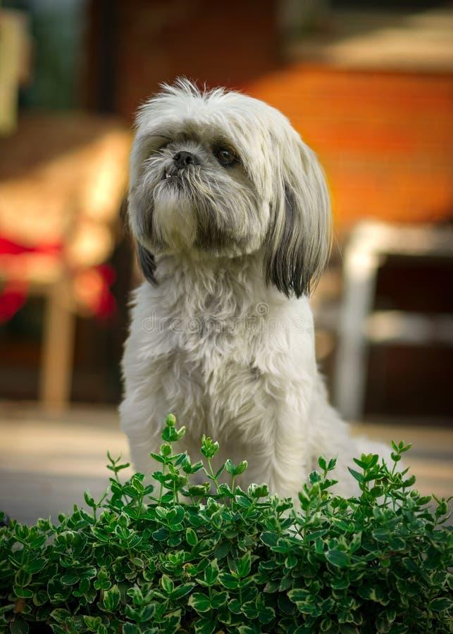 Download Shih Tzu Dog Sitting At Attention Stock Image - Image: 31349693