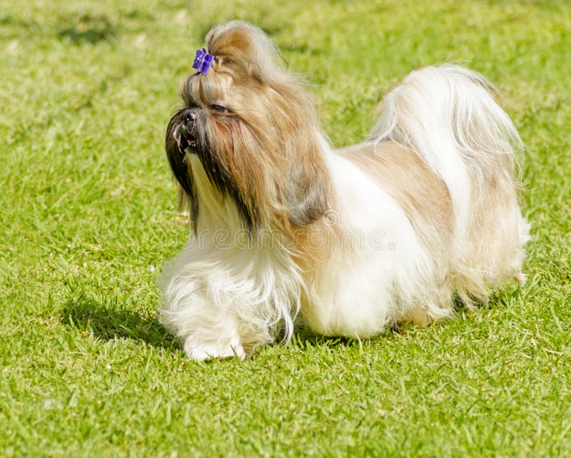 Shih Tzu dog. A small young light brown, black and white tan Shih Tzu dog with a long silky coat and braided head coat running on the lawn stock images