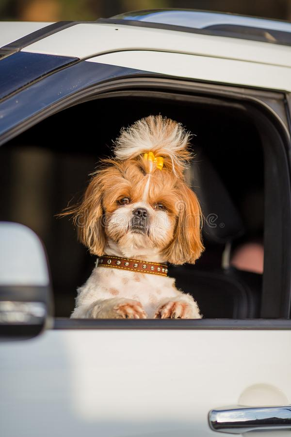Free Shih Tzu Dog Travels By Car. A Dog Is Sitting In A Car Seat Stock Photography - 160020572