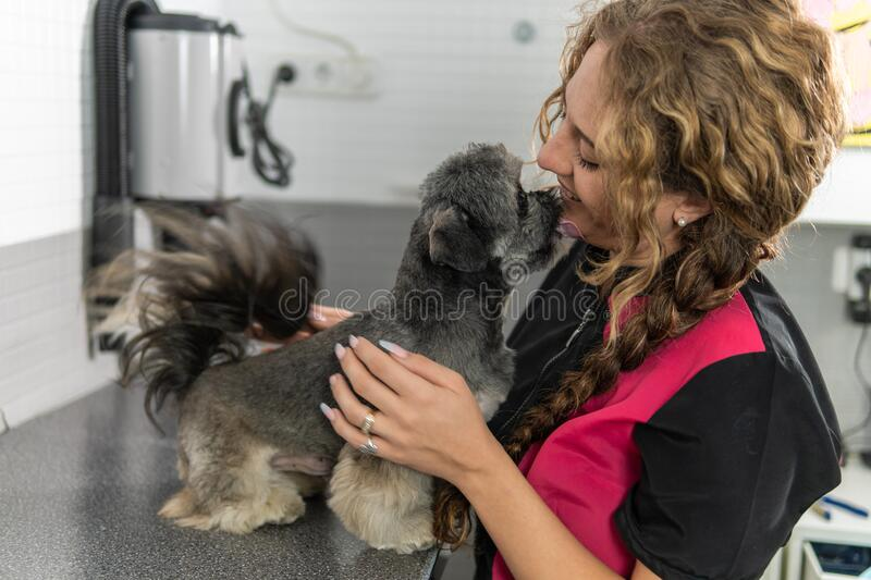 Shih Tzu dog and a veterinarian woman after treatment. Adorable Shih Tzu breed dog licking veterinary woman lovingly, after treatment royalty free stock photography