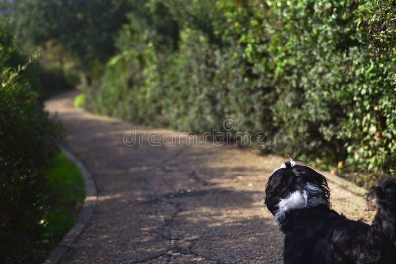 Shih tzu dog walking the trail stock photos