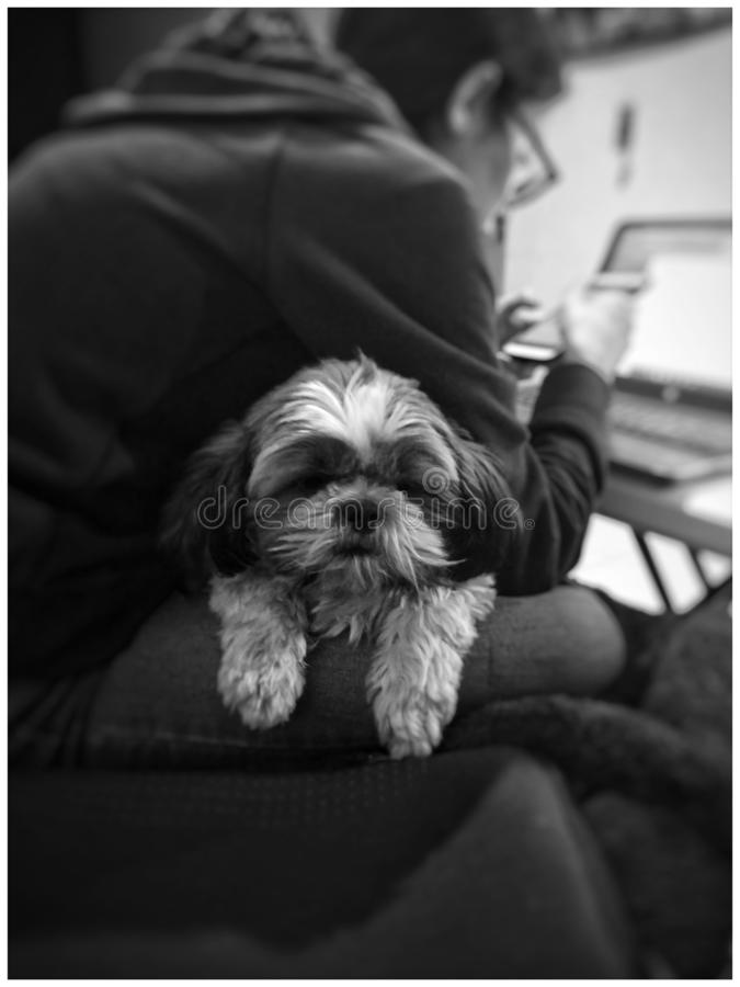 Shih Tzu stock photography