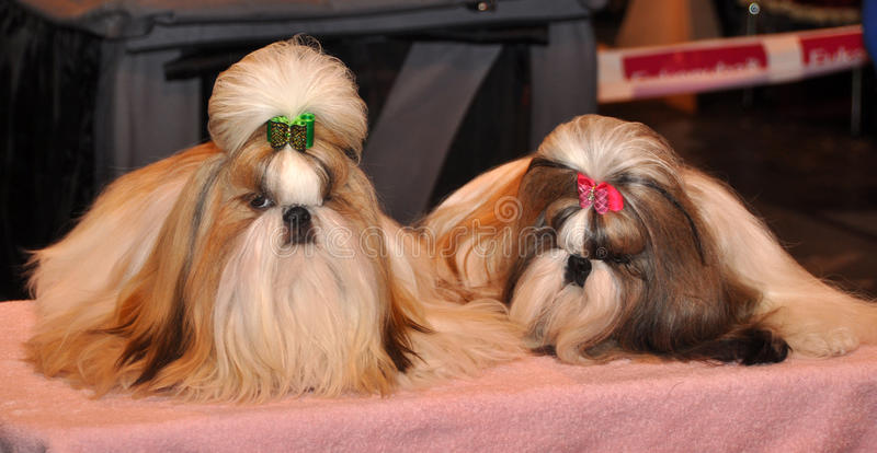 Download Shih Tzu Dogs stock image. Image of silky, hairy, animals - 39513199