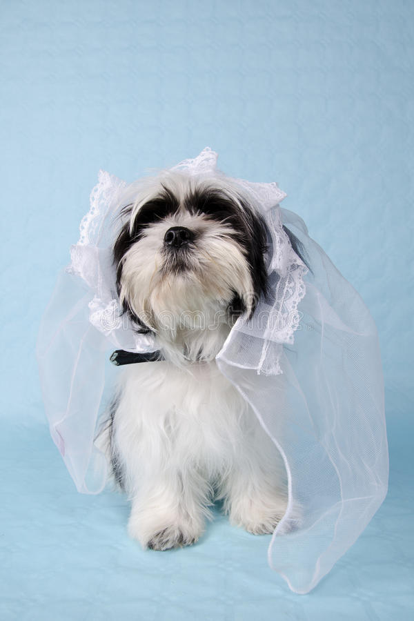 Shih Tzu em um véu do casamento foto de stock royalty free