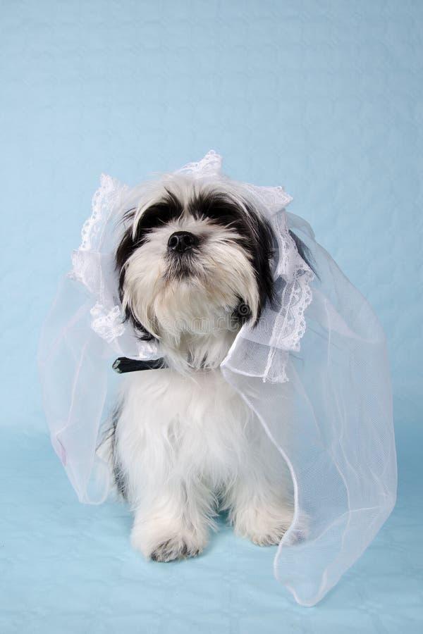 Shih Tzu en un velo de novia foto de archivo libre de regalías