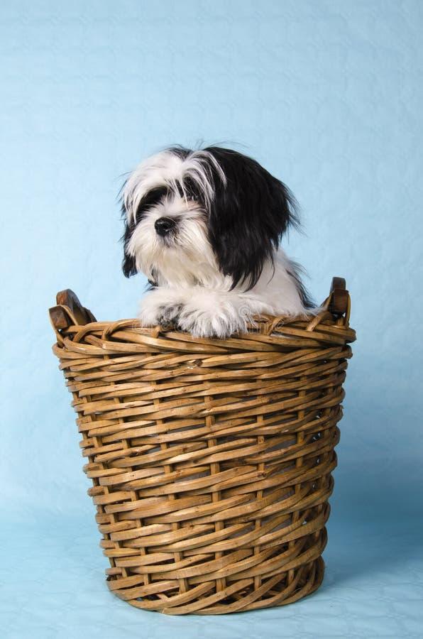 Shih Tzu en una cesta foto de archivo